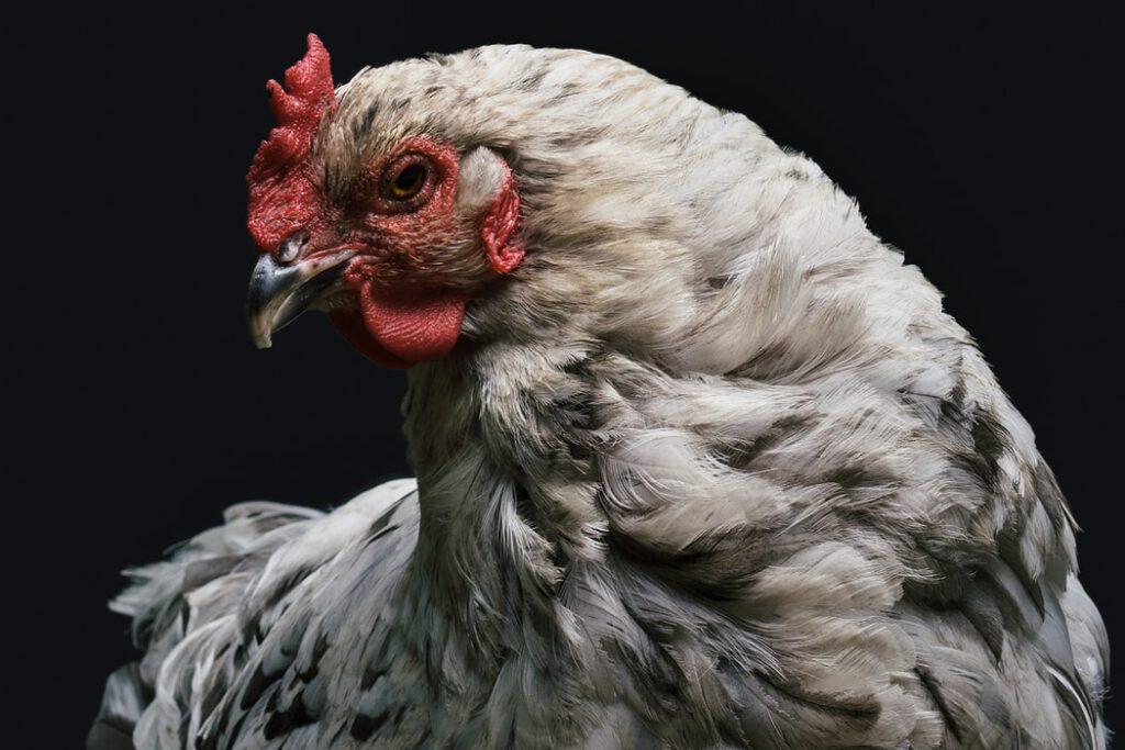 Ciri-Ciri Ayam Yang Cocok Untuk Dijadikan Petarung
